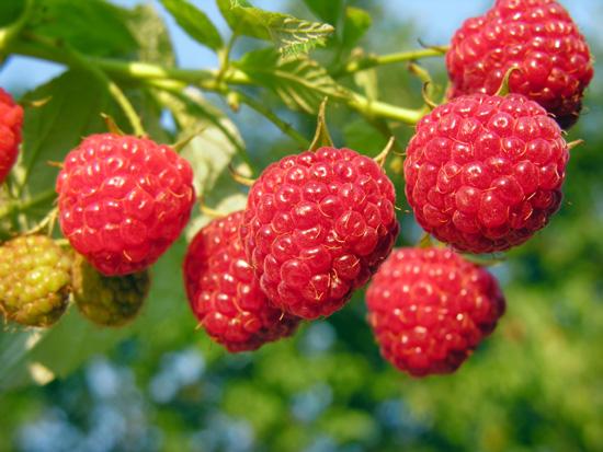Owoce malin