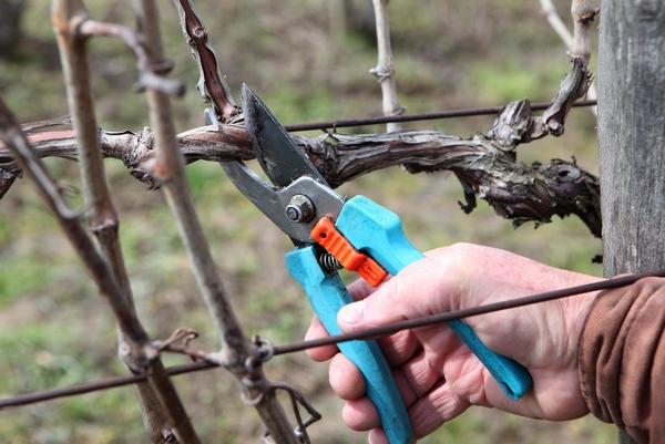 Cięcie winorośli