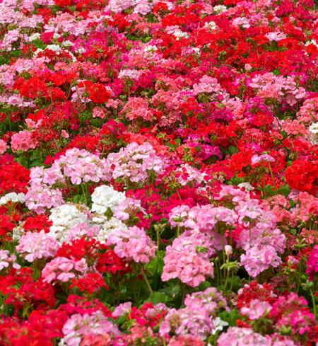 Czerwone kwiaty - pelargonie