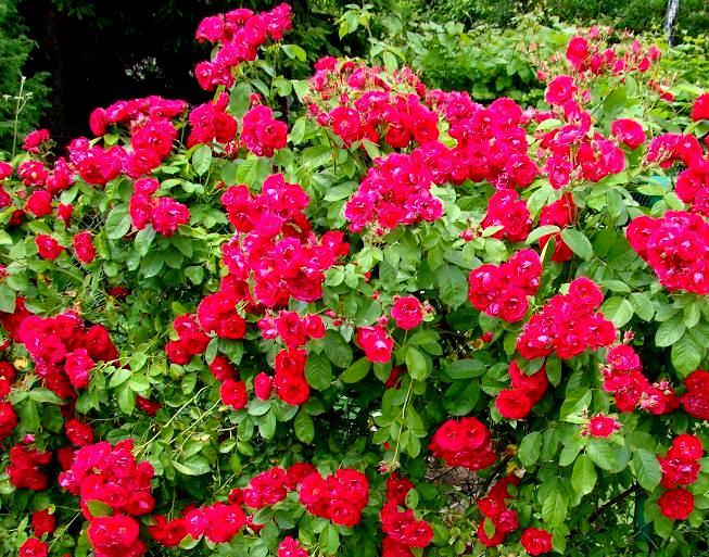 czerwone kwiaty w ogrodzie