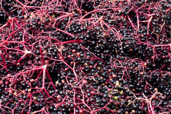 Czarny bez - owoce