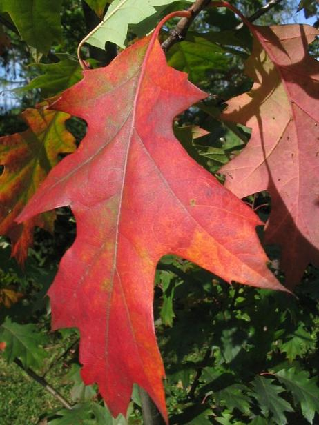 Dąb czerwony - liście