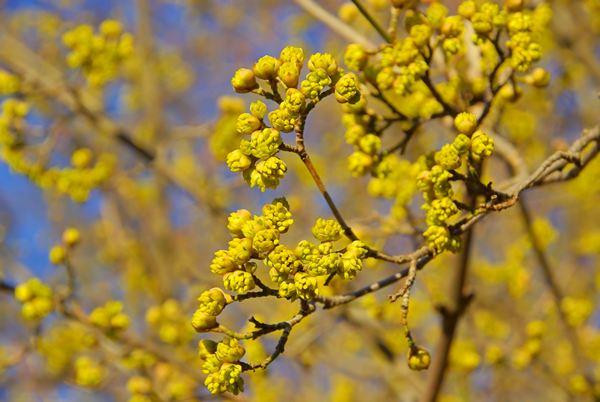 Dereń jadalny - kwiaty