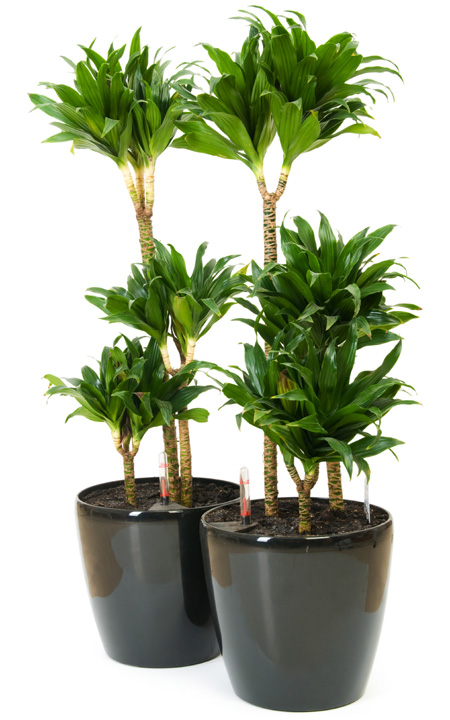 Dracena deremaska