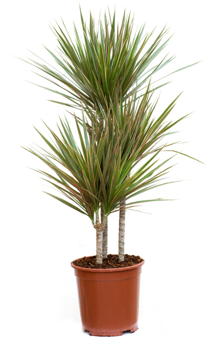 Dracena obrzeona