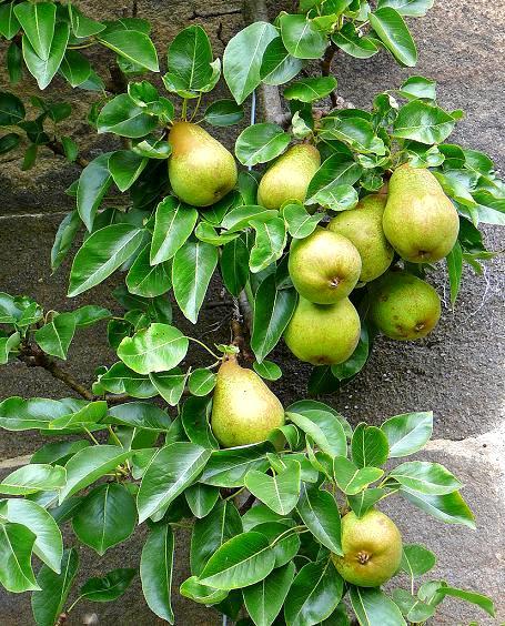 drzewa grusze