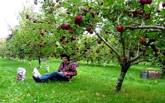 Jabłoń w ogrodzie