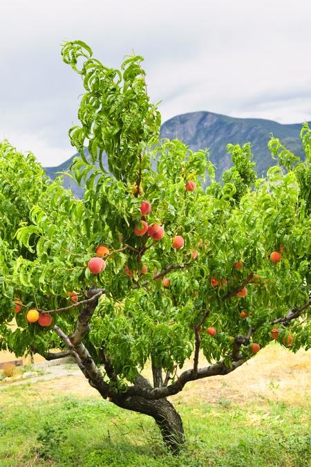 Drzewa Owocowe - Brzoskwinie