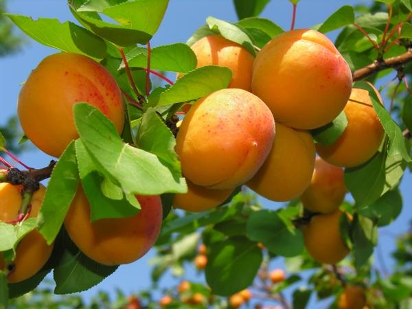 Drzewa Owocowe - Morele
