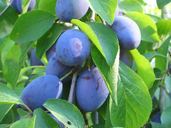 Drzewa owocowe śliwy