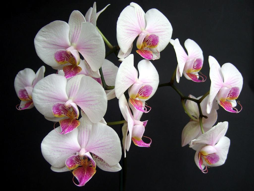 Falenopsis, kwiat falenopsisa