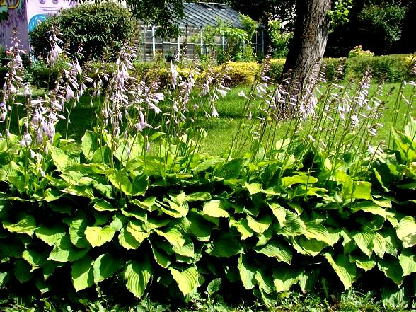 Funkie w ogrodzie