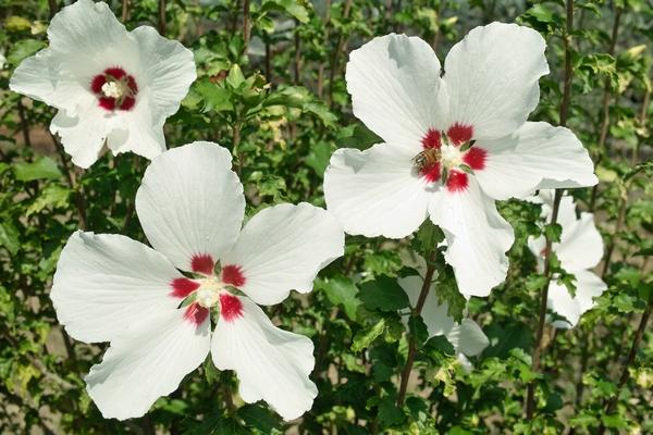 Hibiskus ogrodowy - biały