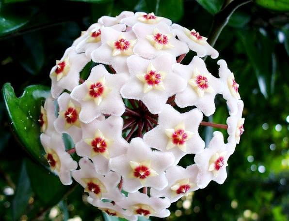Hoja kwiat