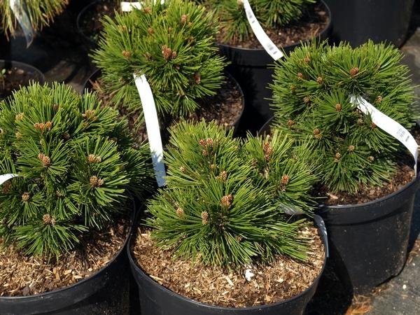Sosna bośniacka (Pinus leucodermis)