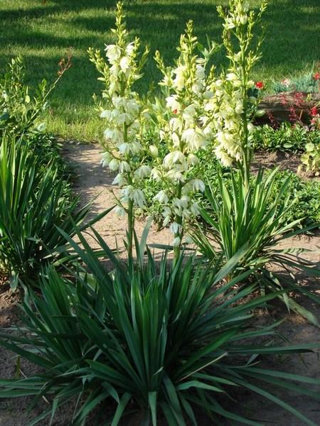 Juka ogrodowa – pielęgnacja i uprawa