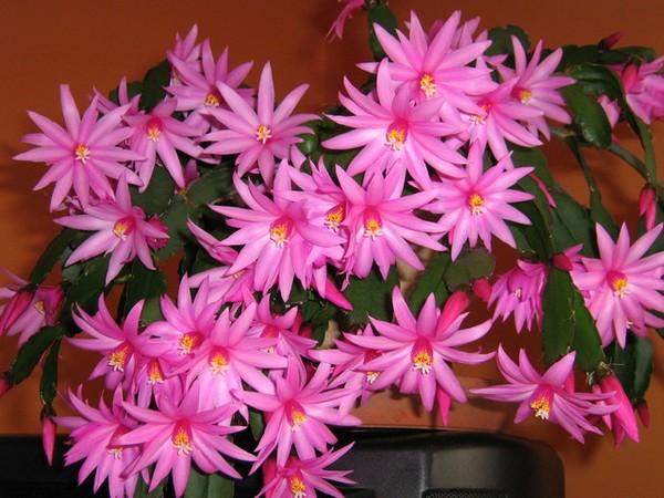 Kaktus wielkanocny - zdjęcie aseret49
