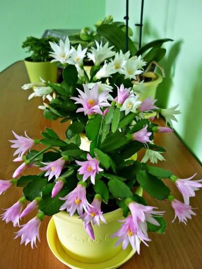 Kaktus wielkanocny - zdjęcie kari