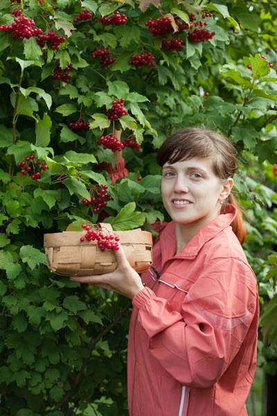 Kalina - owoce