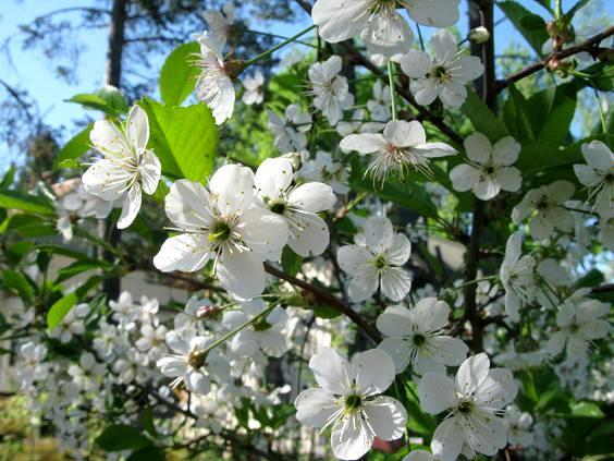 Kwiaty wisnie