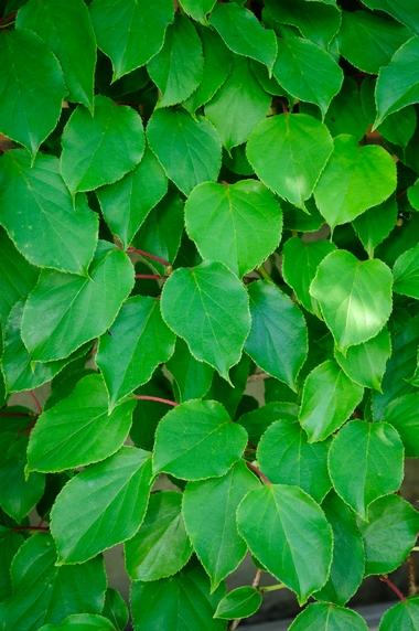 Aktinidia - liście