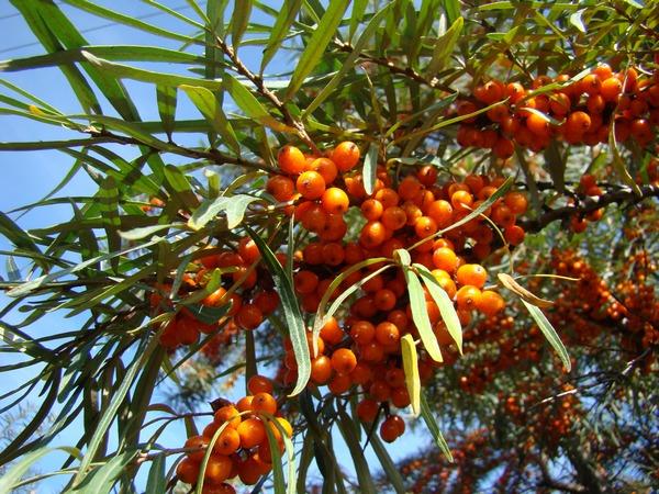Kolczaste krzewy - rośliny z kolcami