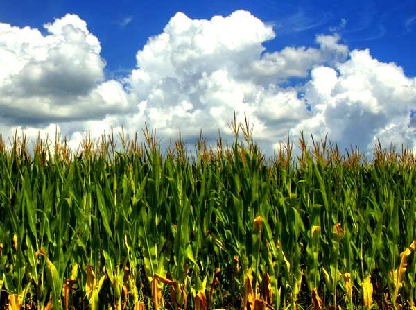 Plantacja kukurydzy