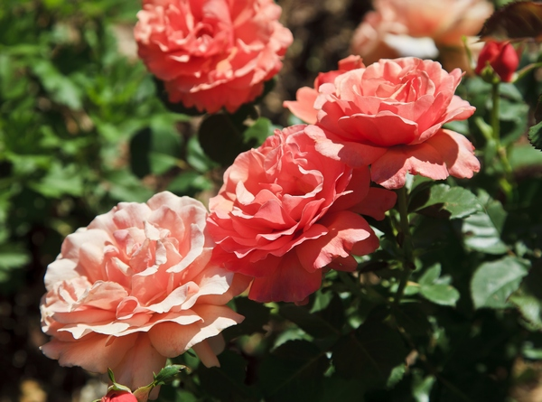 Kwiaty cięte - róże