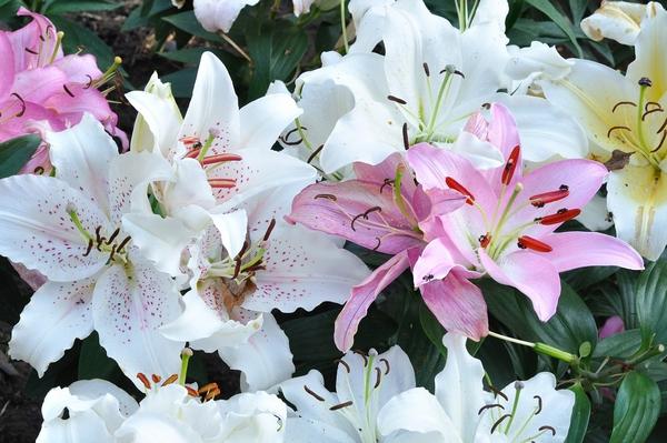 Kwiaty cięte - lilie