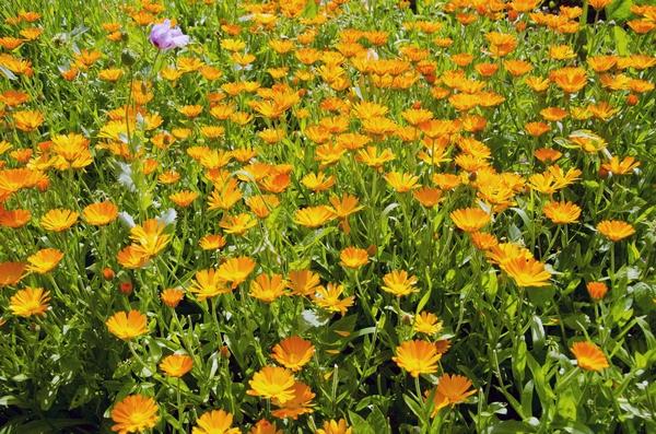 Kwiaty polskie - nagietek