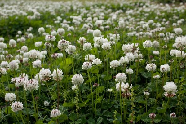 Łąka kwiatowa - koniczyna