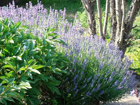 Lawenda w ogrodzie - lawenda lekarska