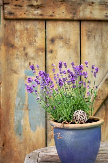 Lawenda – prosta uprawa, cięcie i dekoracje