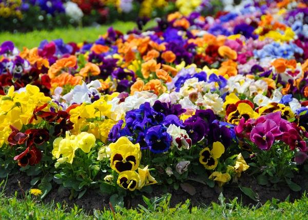 Letnie kwiaty - bratek ogrodowy