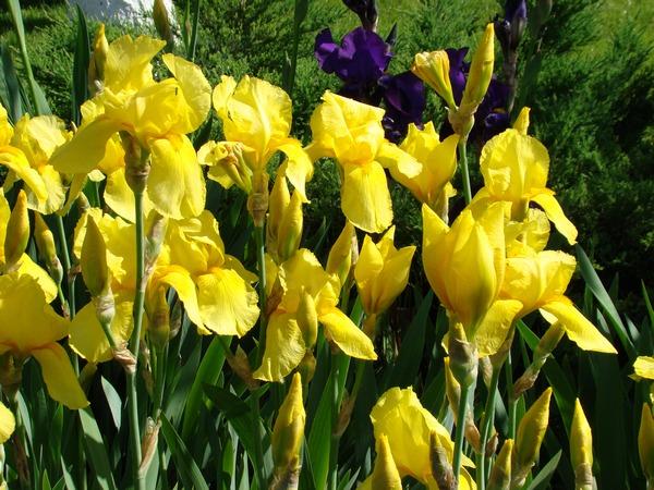 Letnie kwiaty - irysy