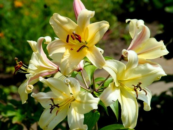 Lilie ogrodowe – uprawa i pielęgnacja