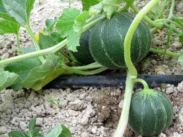 Uprawa melona