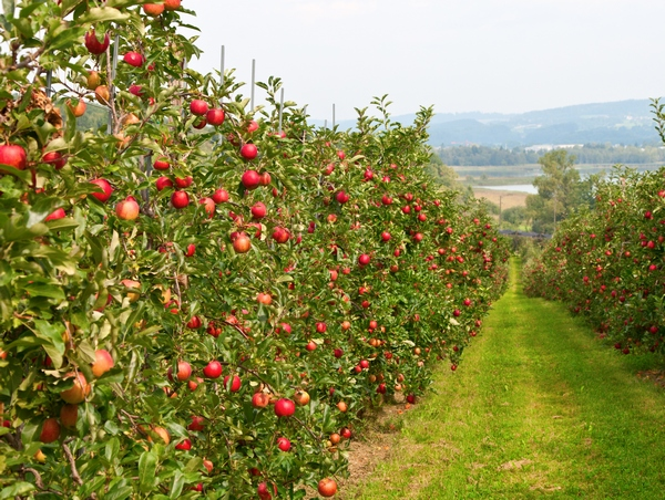 Jabłonie