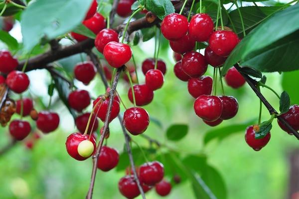 Odmiany wiśni