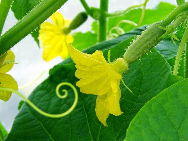 Ogórki w ogrodzie - kwiaty