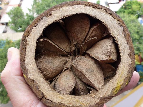 Orzech brazylijski – owoc