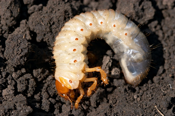 Owady szkodniki roślin - chrabąszcz larwa