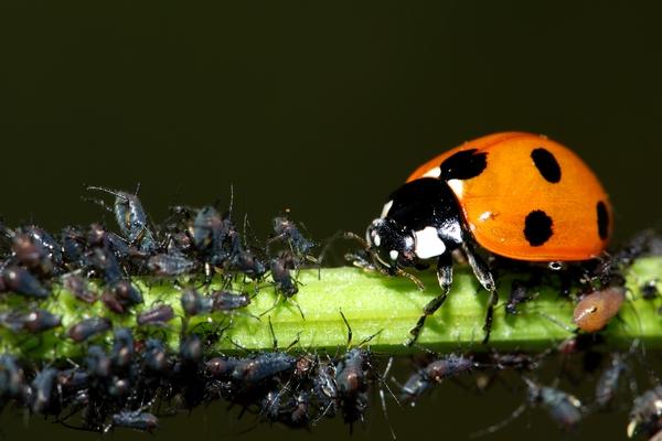 Owady szkodniki roślin - mszyce