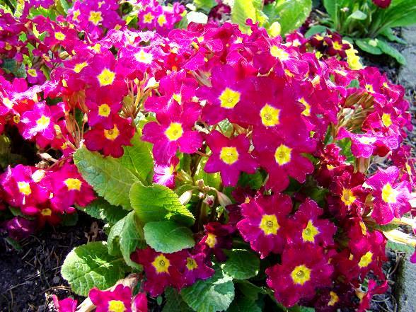 Primule w ogrodzie