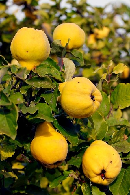 Pigwa - owoce