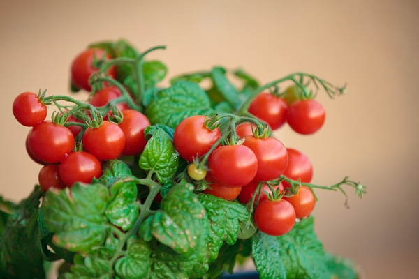uprawa pomidorów na balkonie