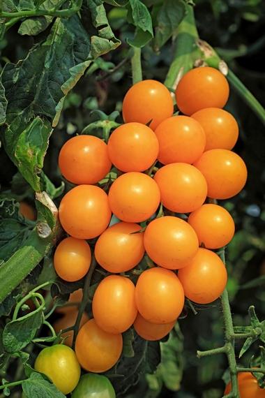 Pomidory - uprawa i pielęgnacja