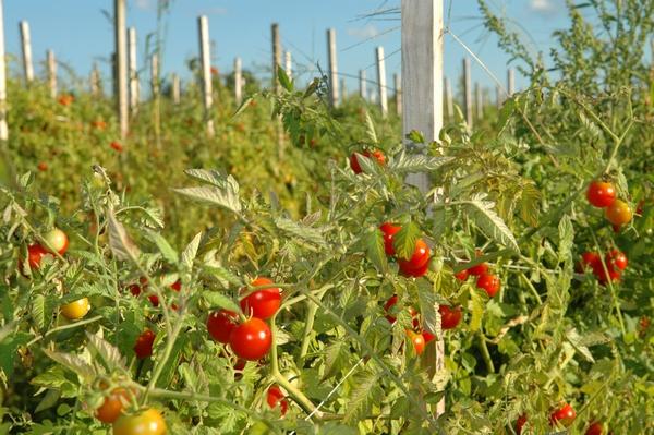 Pomidory w ogrodzie