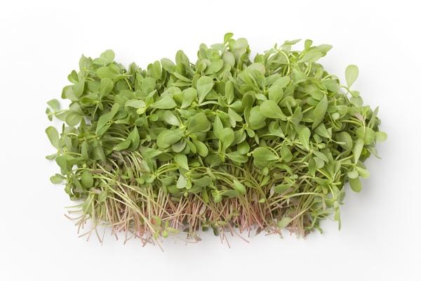 Portulaka warzywna