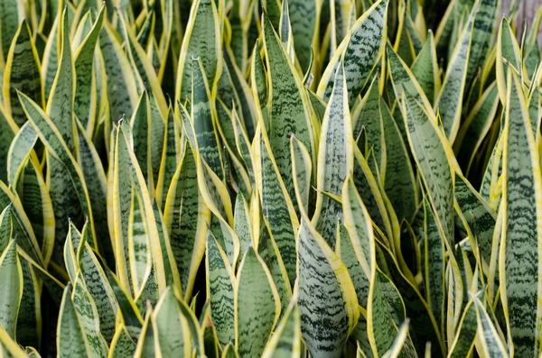 Rośliny doniczkowe cieniolubne – sansewieria